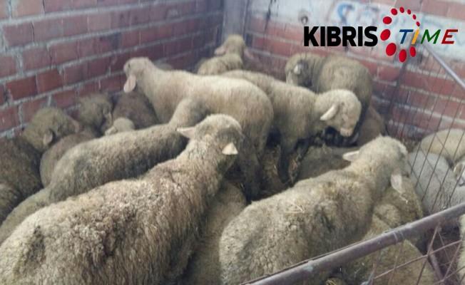 3 Ağıldan 26 koyun çalındı...