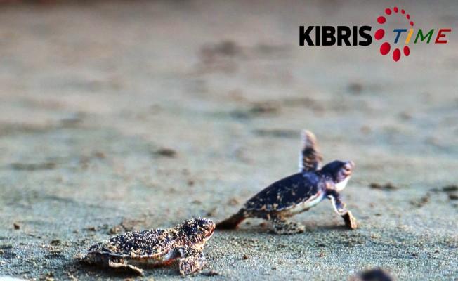 Yavru kaplumbağalar denizle buluşacak.