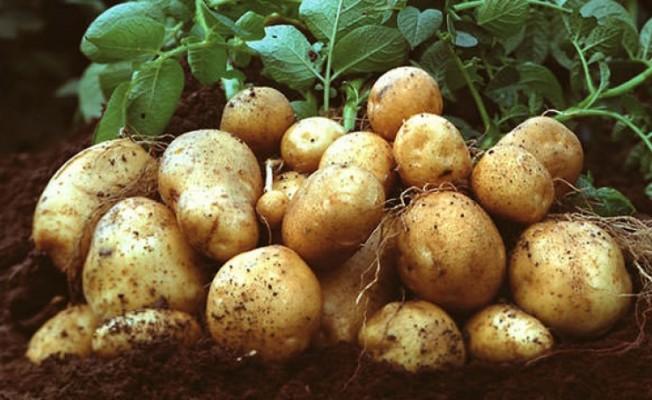 TÜK patates alımlarına başlıyor