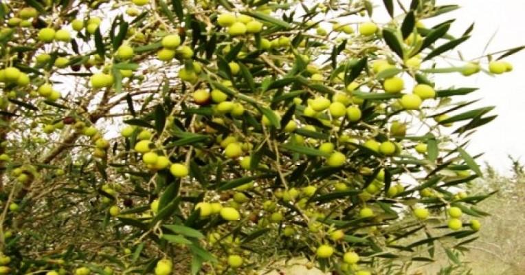 Gazimağusa zeytin hasad tarihi belli oldu