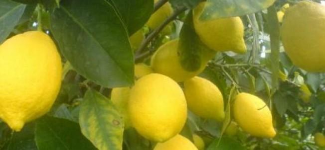 Standart dışı limon müracaatları 25 Ocak'a kadar yapılmalıdır