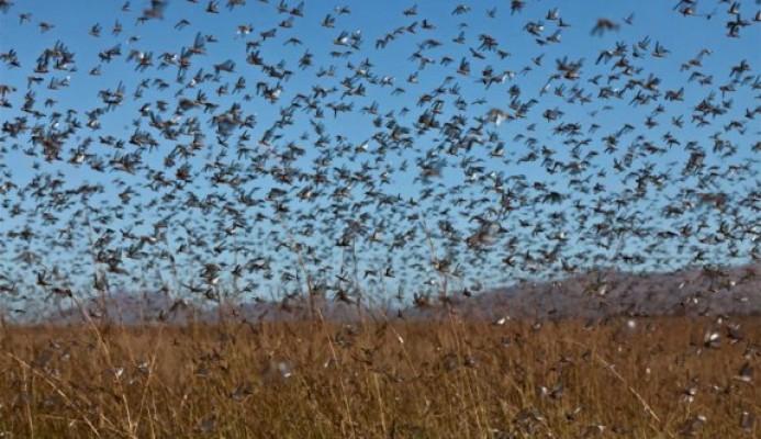 Tarım Dairesi Ercan'daki çekirge sürüsü hakkında duyuru yaptı
