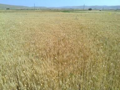 Tahıl Alanlarında Görülen Sararma ile ilgili Teşhis ve Öneriler
