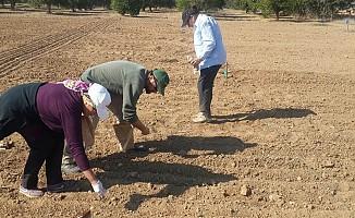 Kıbrıs koşullarına uygun 2 arpa çeşidi ekilebilecek