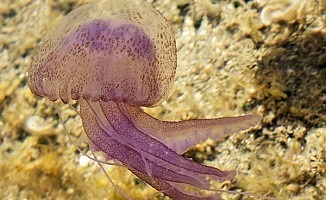 Dikkat! Kıbrıs sahillerinde zehirli denizanası var...