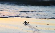 Yavru kaplumbağalar denizle buluşturulacak.