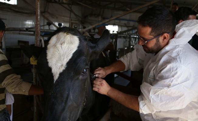 Hayvan hastalıklarıyla mücadele sürüyor