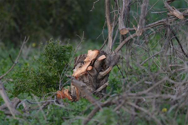 Lapta'da ağaç katliamı...