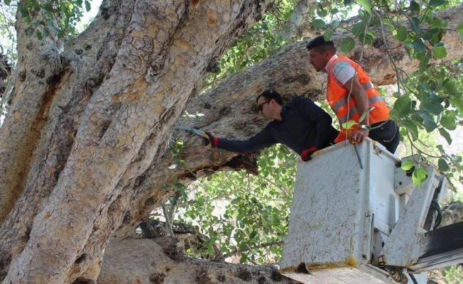 Tarihi cümbez ağacı bakıma alındı