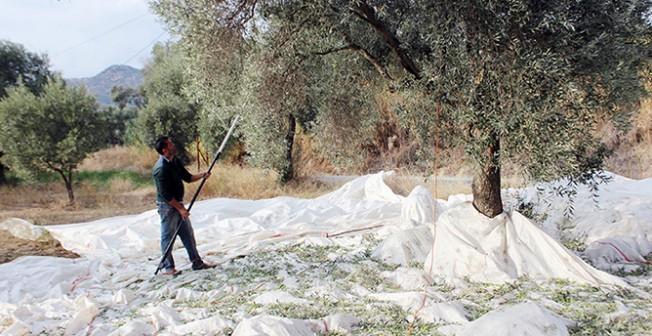 Güzelyurt ilçesi zeytin ve harup hasad tarihleri belli oldu