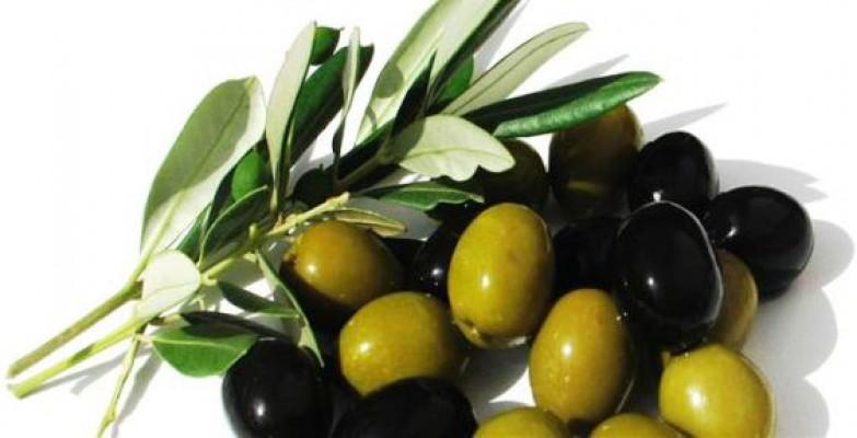 Girne'de zeytin hasadı 22 Eylül'de...