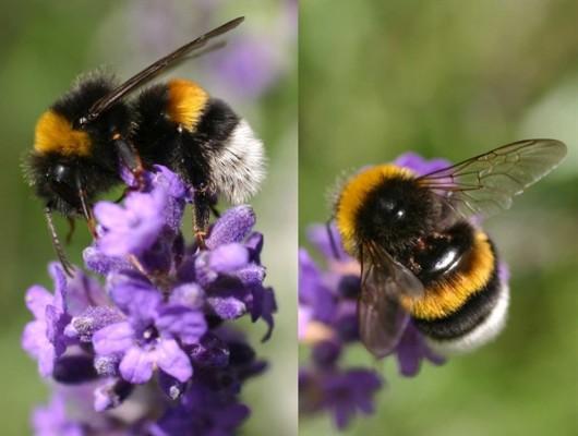 Bombus arısı yetiştiricilerine ödeme yapıldı
