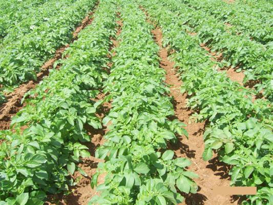 Patates ekim arazileri için son bildirim tarihi 15 Ekim...