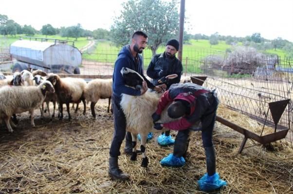 Dipkarpaz köyünde hayvanlar aşılanıyor…