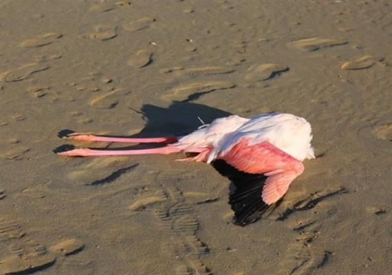 Larnaka'daki Tuz Gölü'nde  20 flamingo ölü bulundu