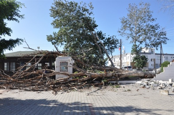 Tarihi kavak ağacı rüzgara yenik düştü...