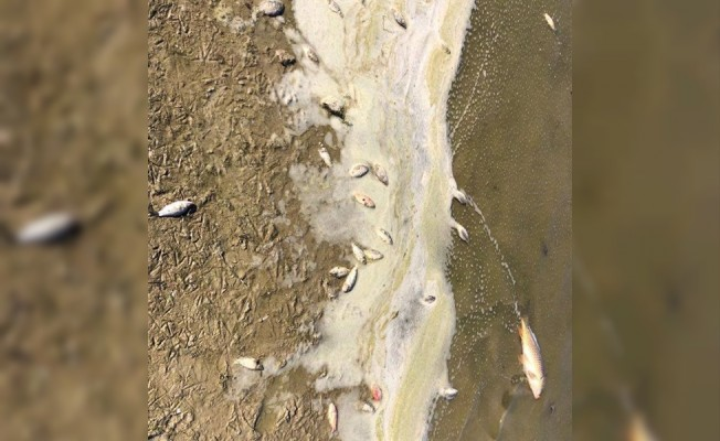 Köprülü Göleti'nde balık ölümleri...