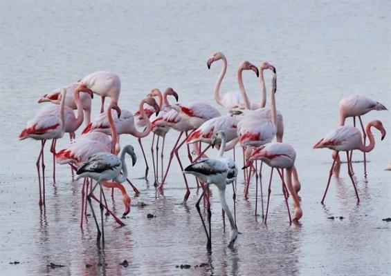Kıbrıs'ın güzel kış konukları flamingolar