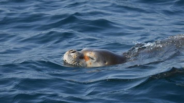 AKSA Enerji'den Akdeniz Foklarına destek!
