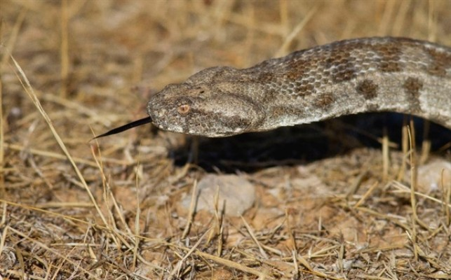 Doç.Dr.Nazım Kaşot Kıbrıs'ın yılanlarını anlattı...