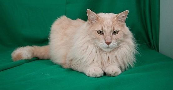 Rumların yeni oyunu: AFRODİT kedisi