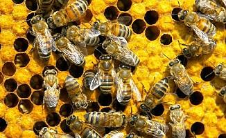 Güney Kıbrıs'ta toplu arı ölümleri