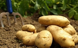 Sonbahar patates beyanları için uzatma