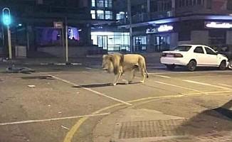 Putin, 800 aslanı sokağa saldı iddiası...
