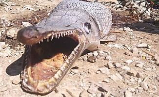 Gönyeli Barajı'nda görülen Timsah balığı korkuttu!